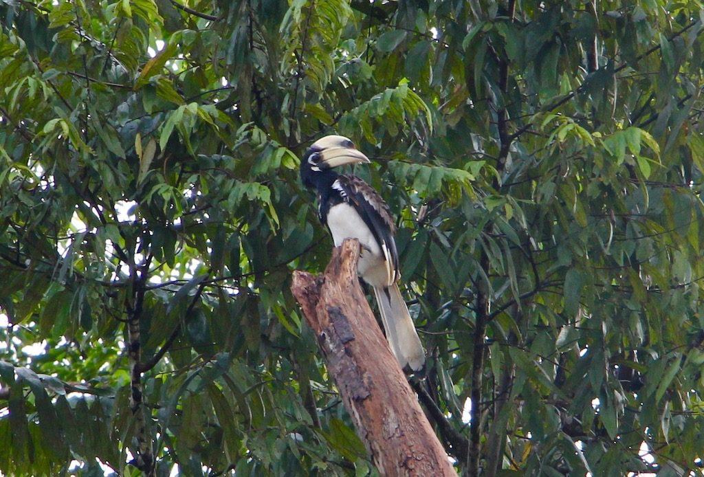 Dzioborożec (Hornbill)